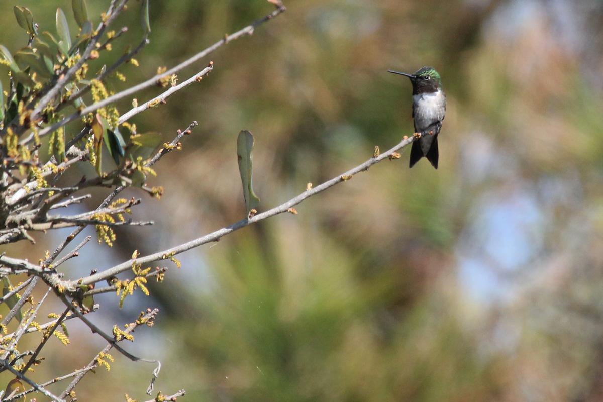 Ruby-throated Hummingbird / 28 Apr / Back Bay NWR