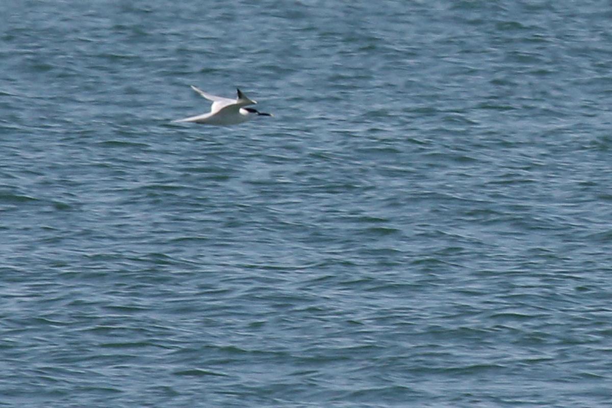 Sandwich Tern / 28 Apr / Back Bay NWR