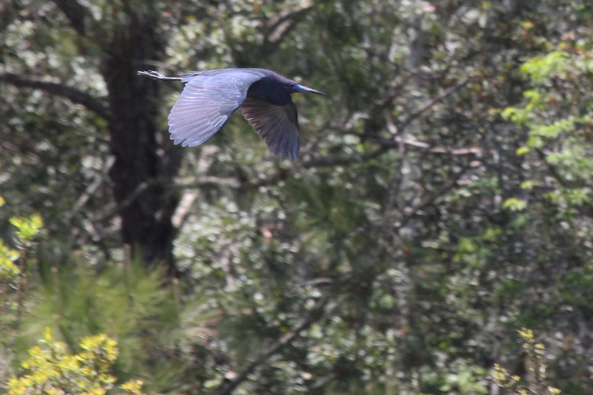 Little Blue Heron / 29 Apr / Princess Anne WMA Whitehurst Tract