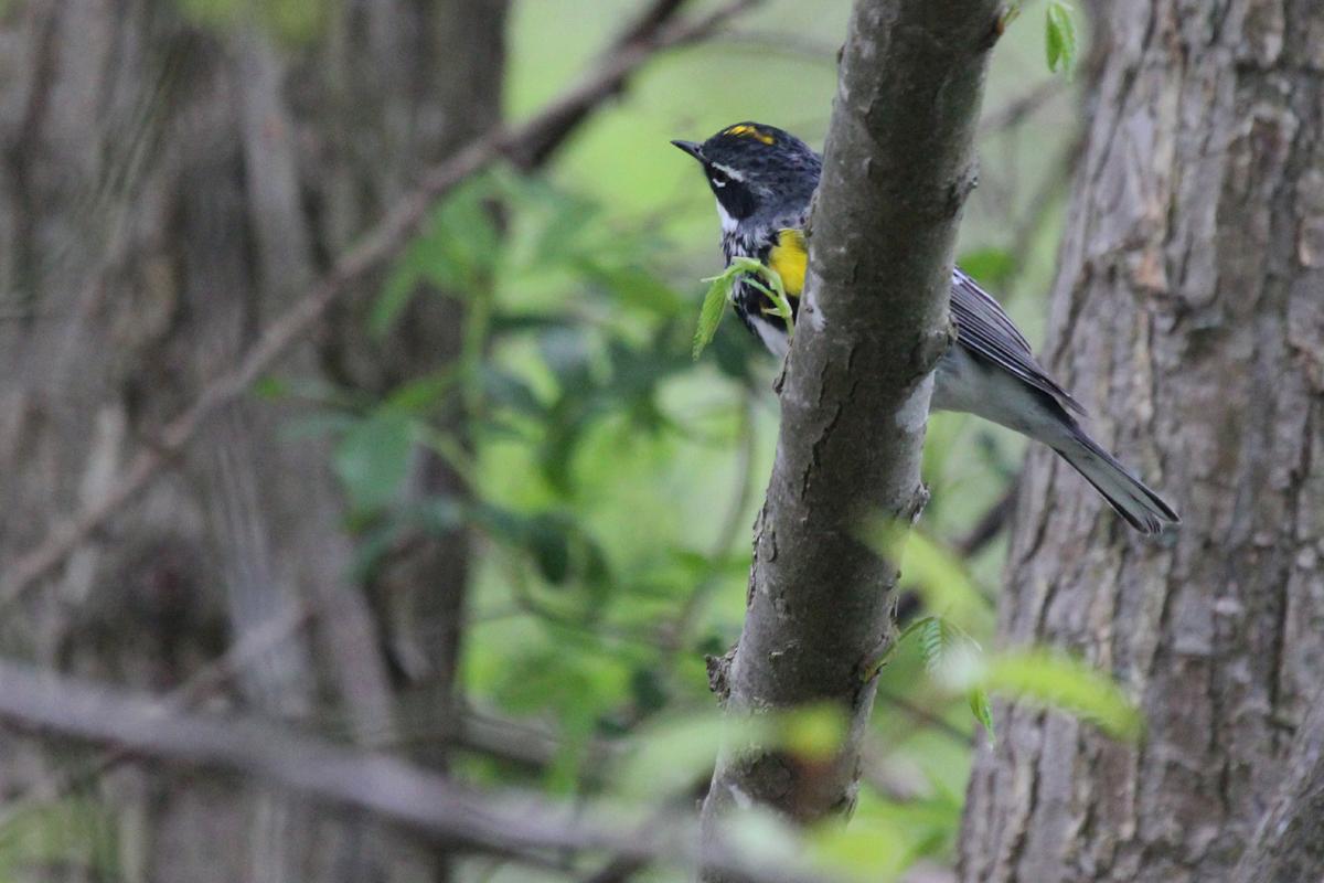 Yellow-rumped Warbler (Myrtle) / 26 Apr / Stumpy Lake NA