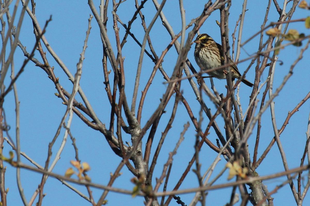Savannah Sparrow (Savannah) / 28 Apr / Back Bay NWR