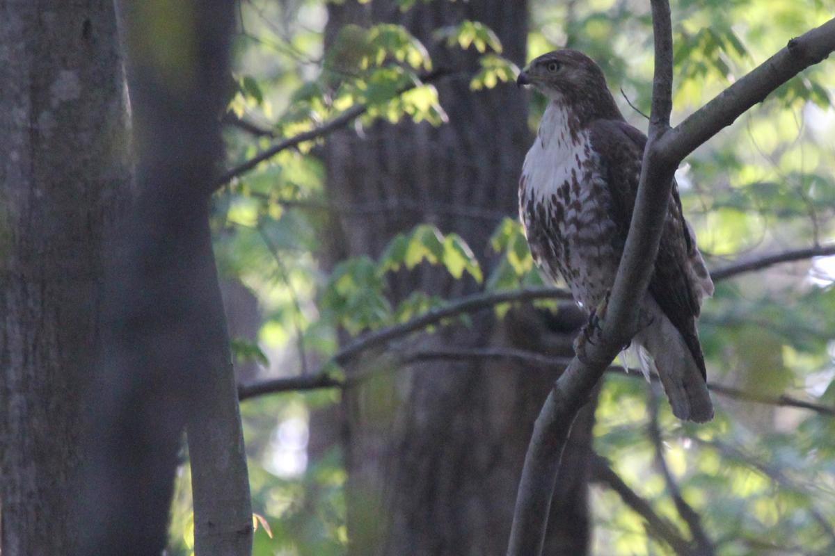 Red-tailed Hawk / 21 Apr / Stumpy Lake NA