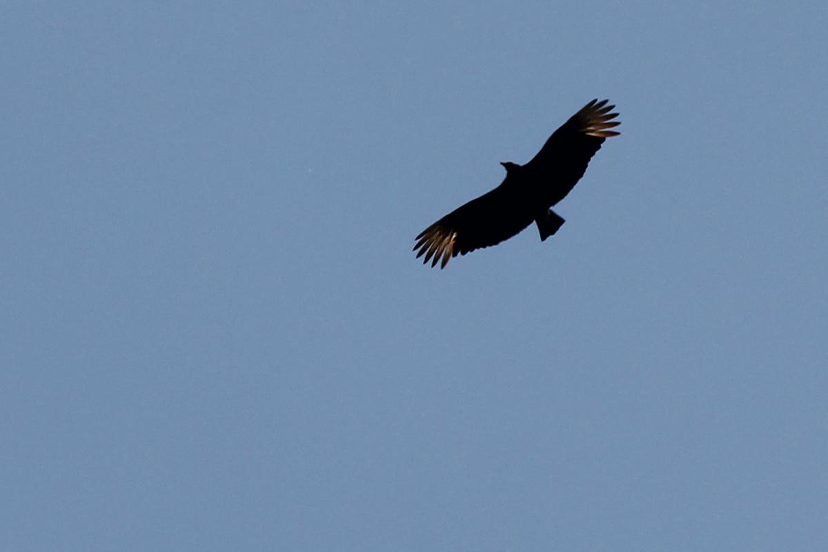 Black Vulture / 21 Apr / West Neck Creek NA