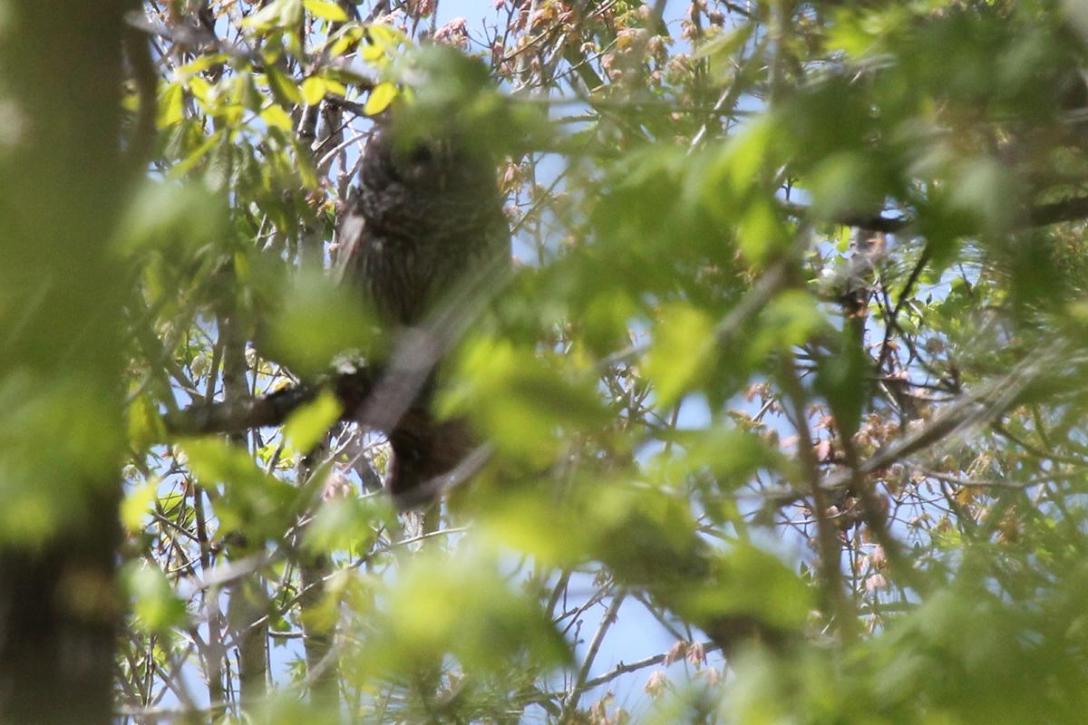 Barred Owl / 21 Apr / West Neck Creek NA