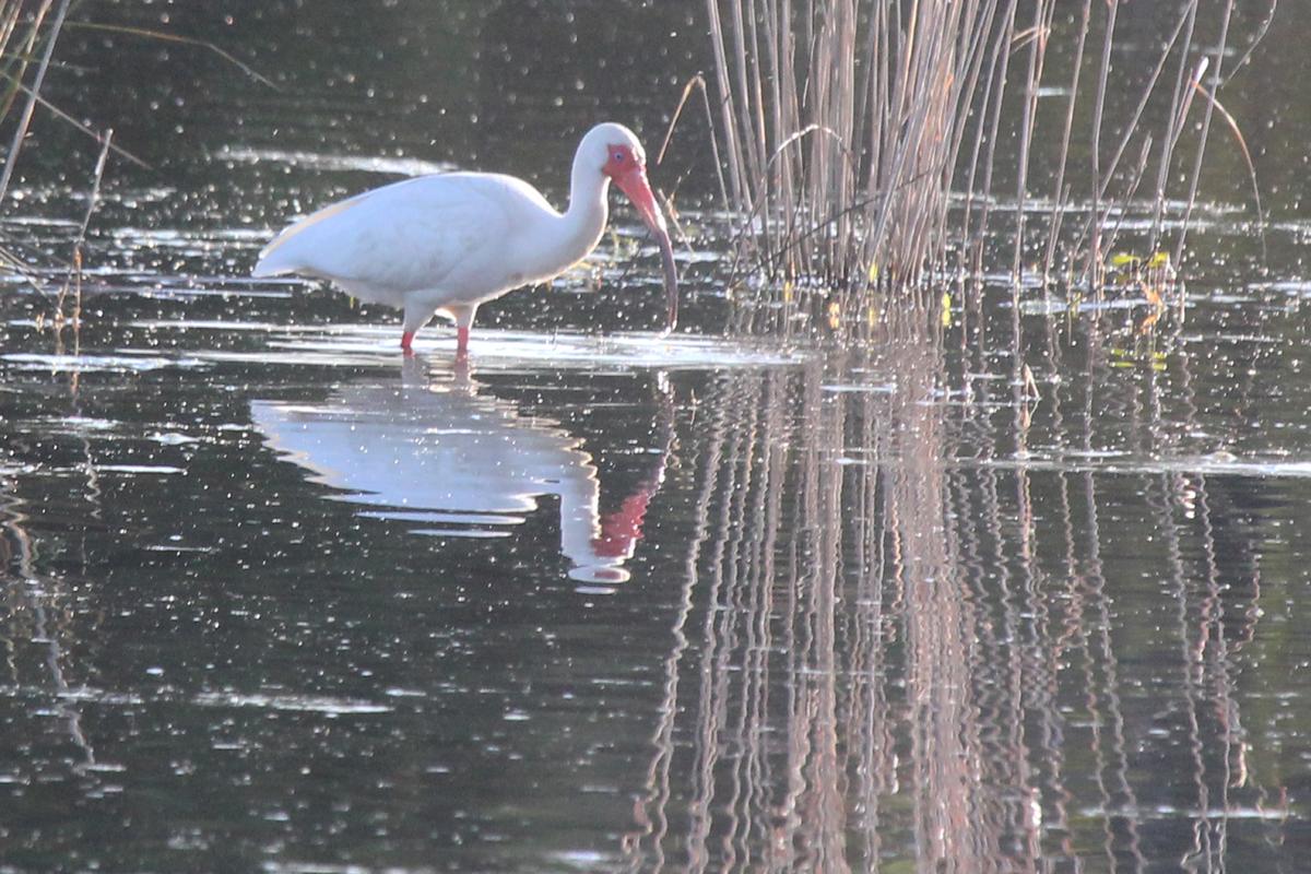 White Ibis / 22 Apr / Princess Anne WMA Whitehurst Tract