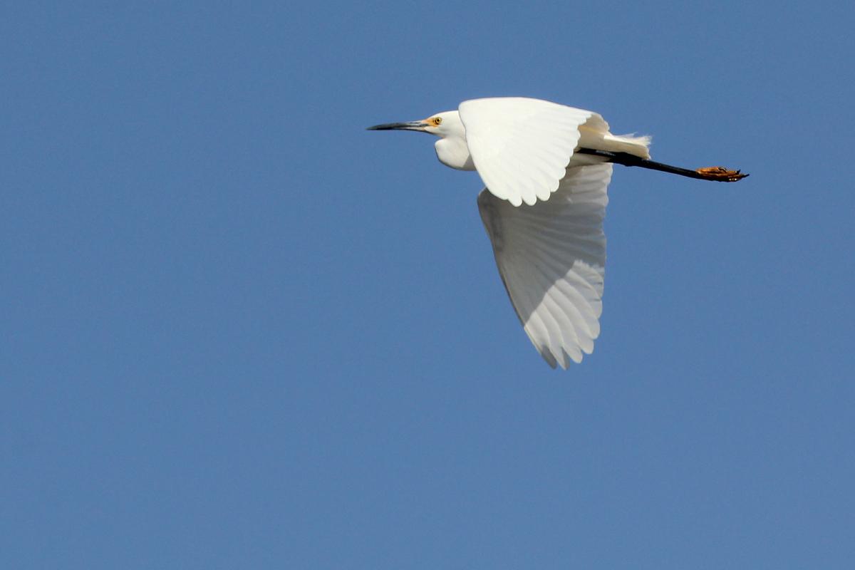 Snowy Egret / 22 Apr / Princess Anne WMA Whitehurst Tract