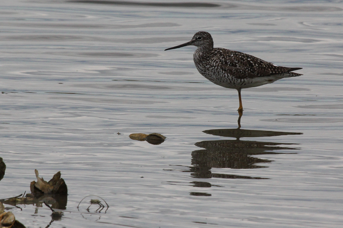 Greater Yellowlegs / 27 Apr / Pleasure House Point NA