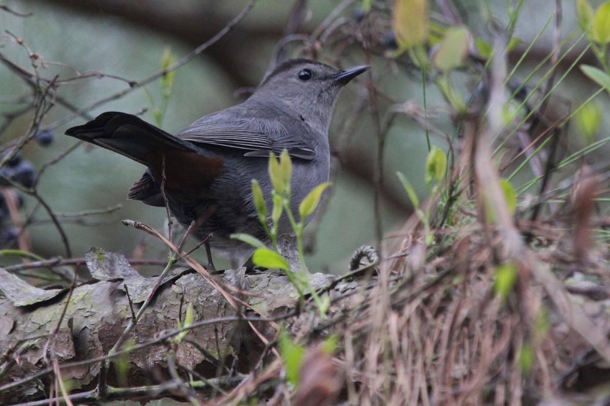 Gray Catbird / 27 Apr / Pleasure House Point NA