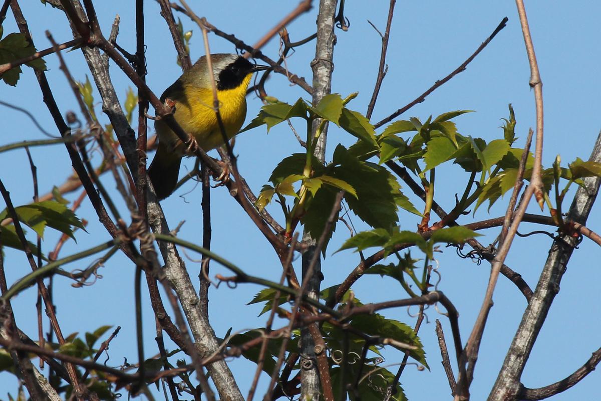 Common Yellowthroat / 28 Apr / Back Bay NWR