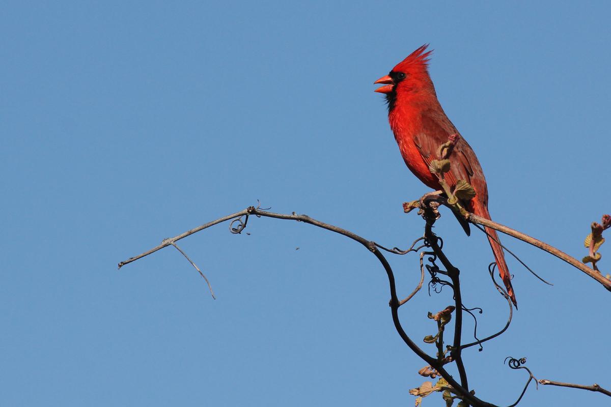 Northern Cardinal / 28 Apr / Back Bay NWR