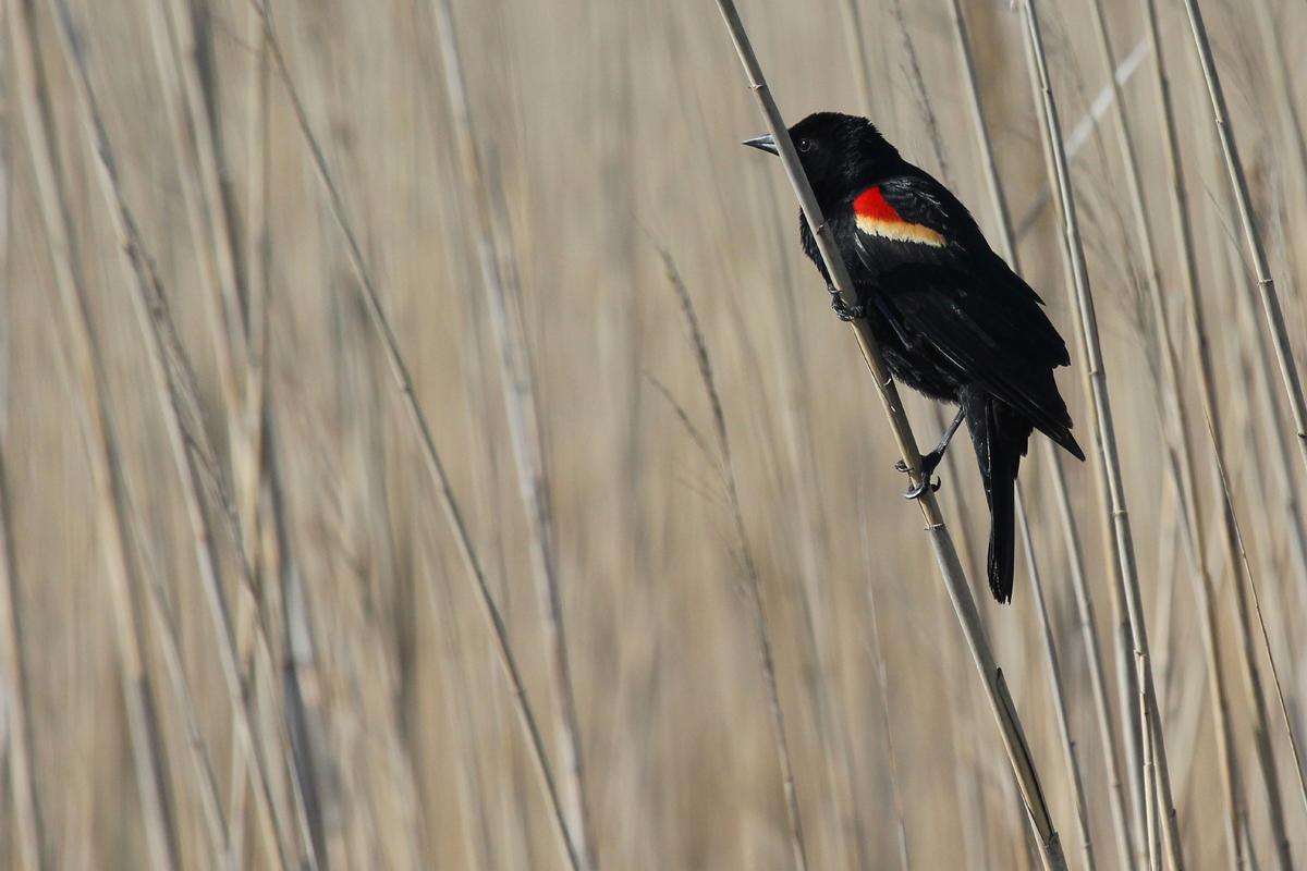 Red-winged Blackbird / 28 Apr / Back Bay NWR