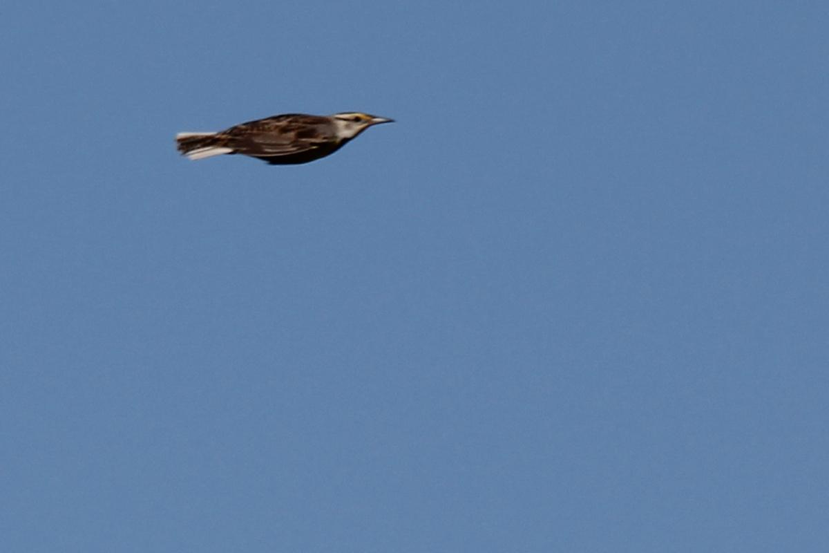 Eastern Meadowlark / 28 Apr / Back Bay NWR