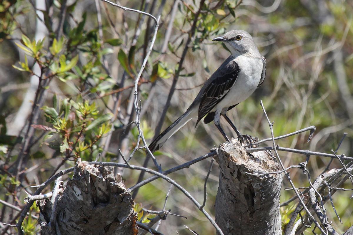 Northern Mockingbird / 28 Apr / Back Bay NWR