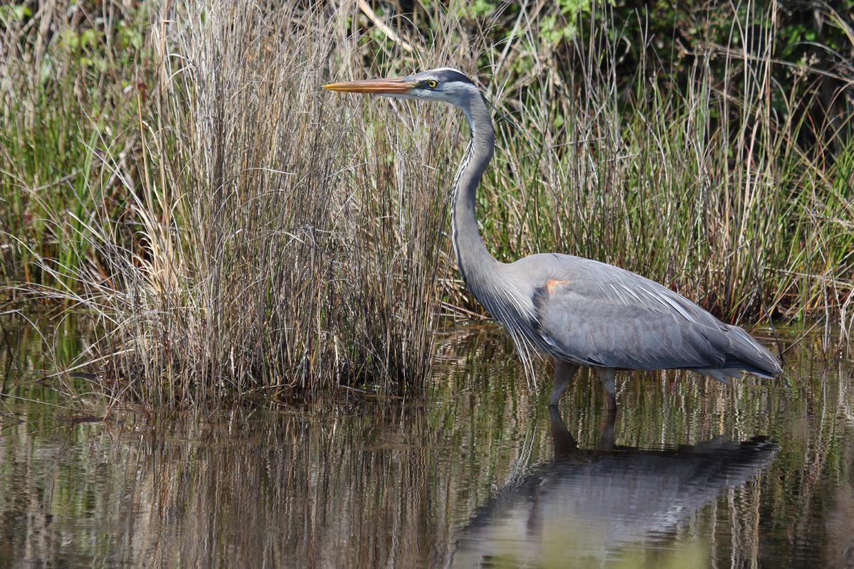 Great Blue Heron / 28 Apr / Back Bay NWR