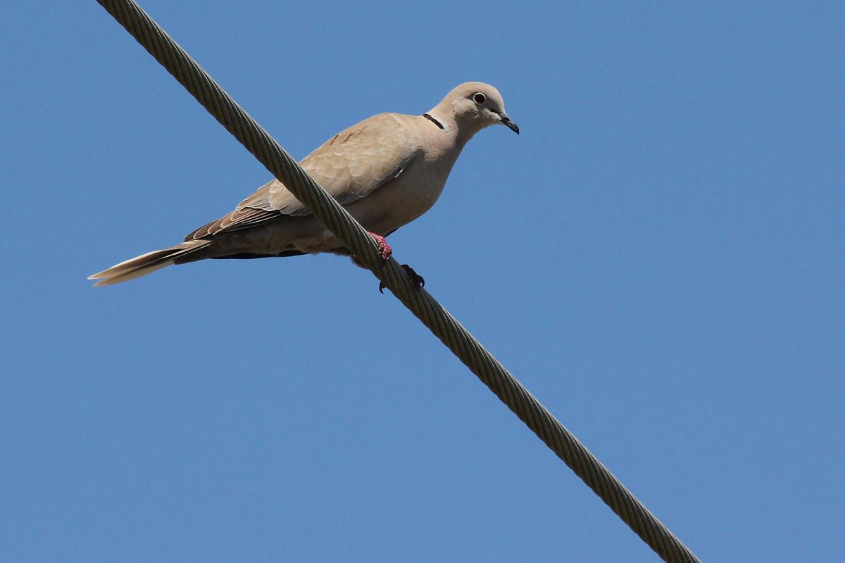 Eurasian Collared-Dove / 28 Apr / Sandbridge