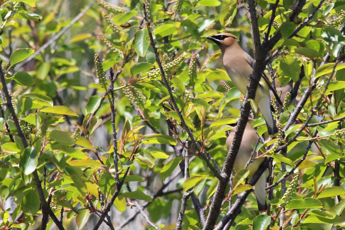 Cedar Waxwings / 28 Apr / Sandbridge