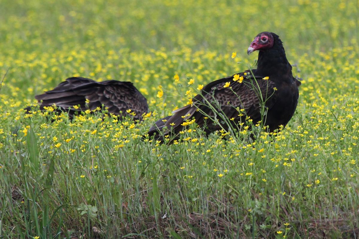 Turkey Vultures / 28 Apr / Gum Bridge Rd.