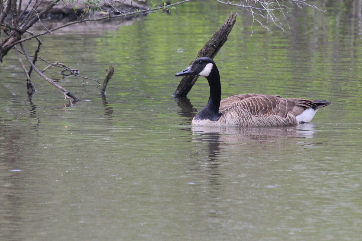 Canada Goose / 28 Apr / Stumpy Lake NA