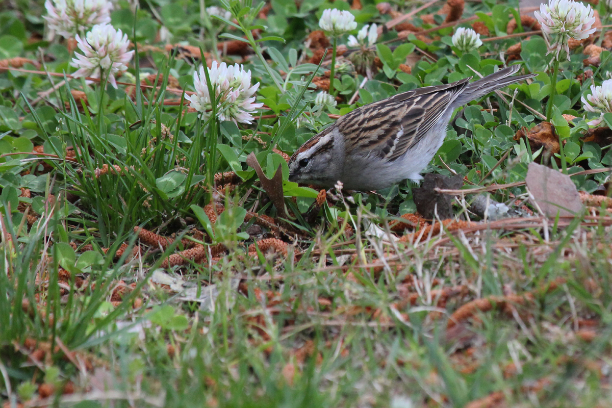 Chipping Sparrow / 28 Apr / Stumpy Lake NA