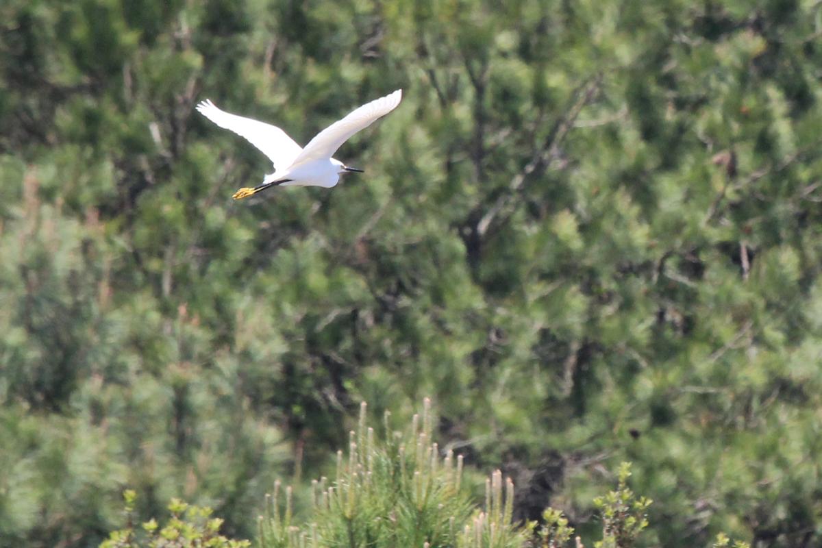 Snowy Egret / 29 Apr / Princess Anne WMA Whitehurst Tract