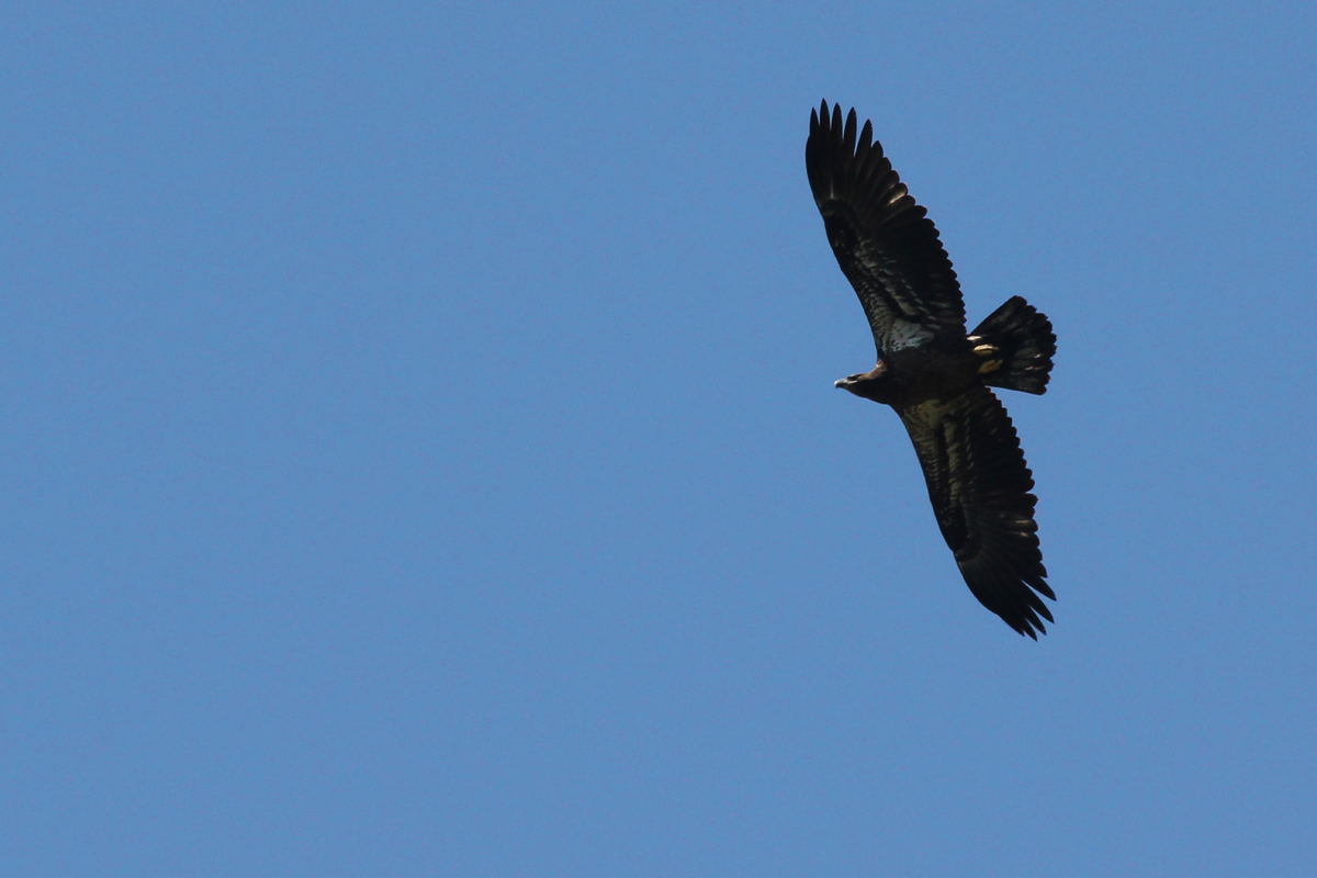Bald Eagle / 29 Apr / Princess Anne WMA Whitehurst Tract