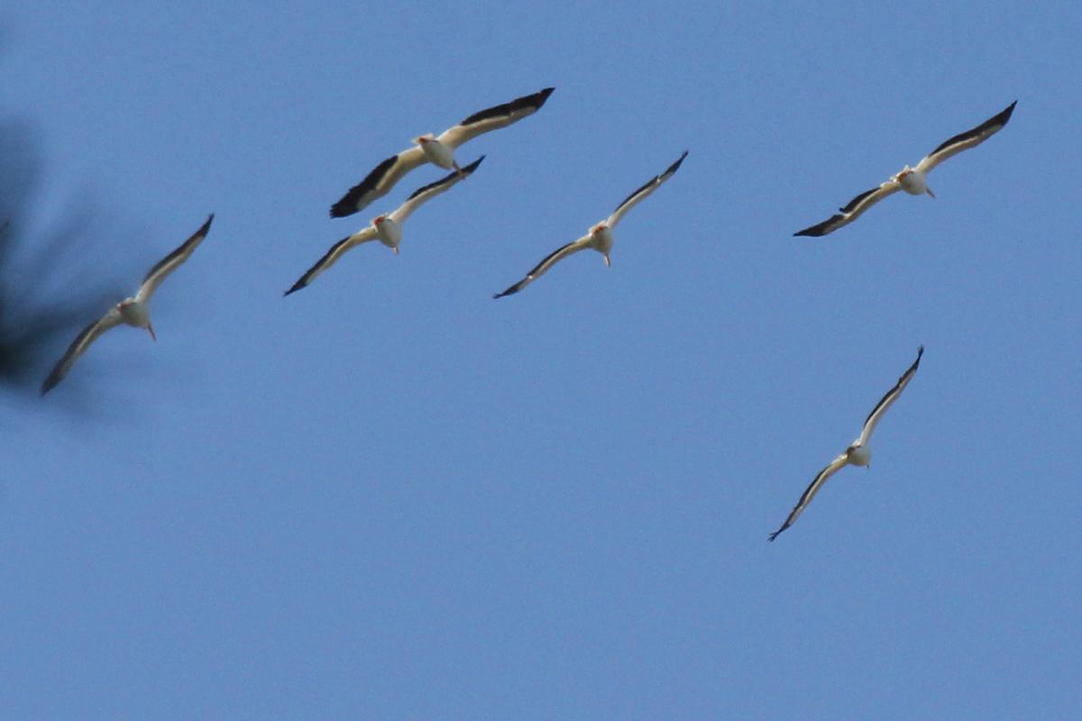 American White Pelicans / 1 May / Stumpy Lake NA