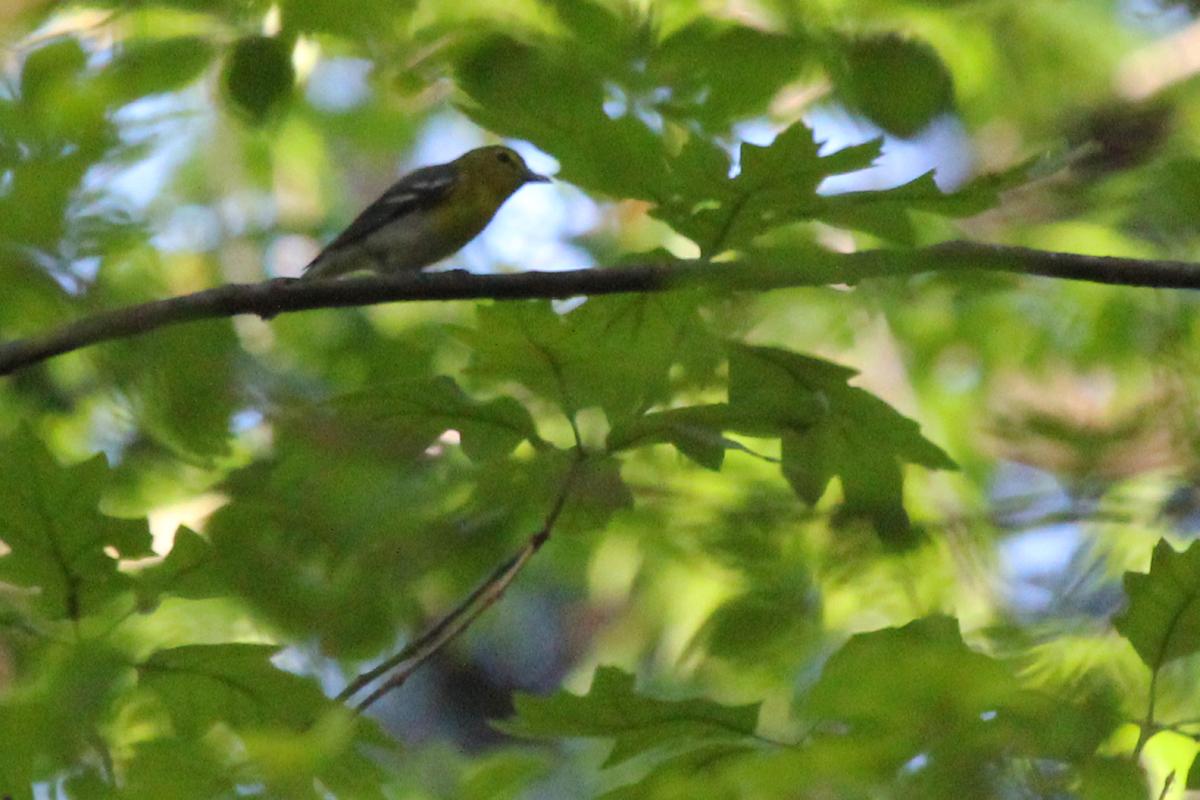 Yellow-throated Vireo / 1 May / Stumpy Lake NA