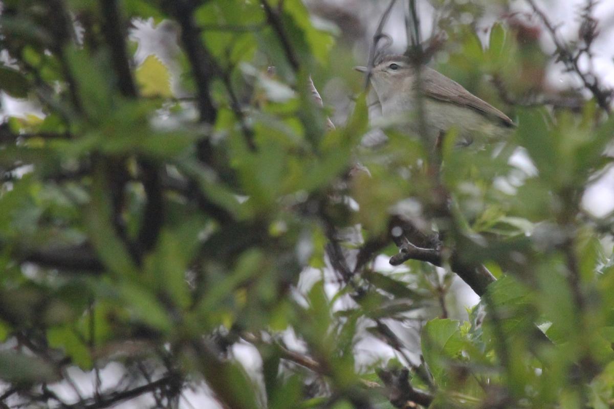 Warbling Vireo / 6 May / Back Bay NWR