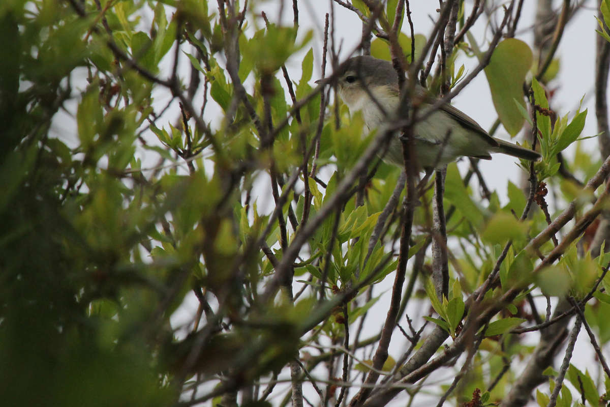 Warbling Vireo / 9 May / Back Bay NWR