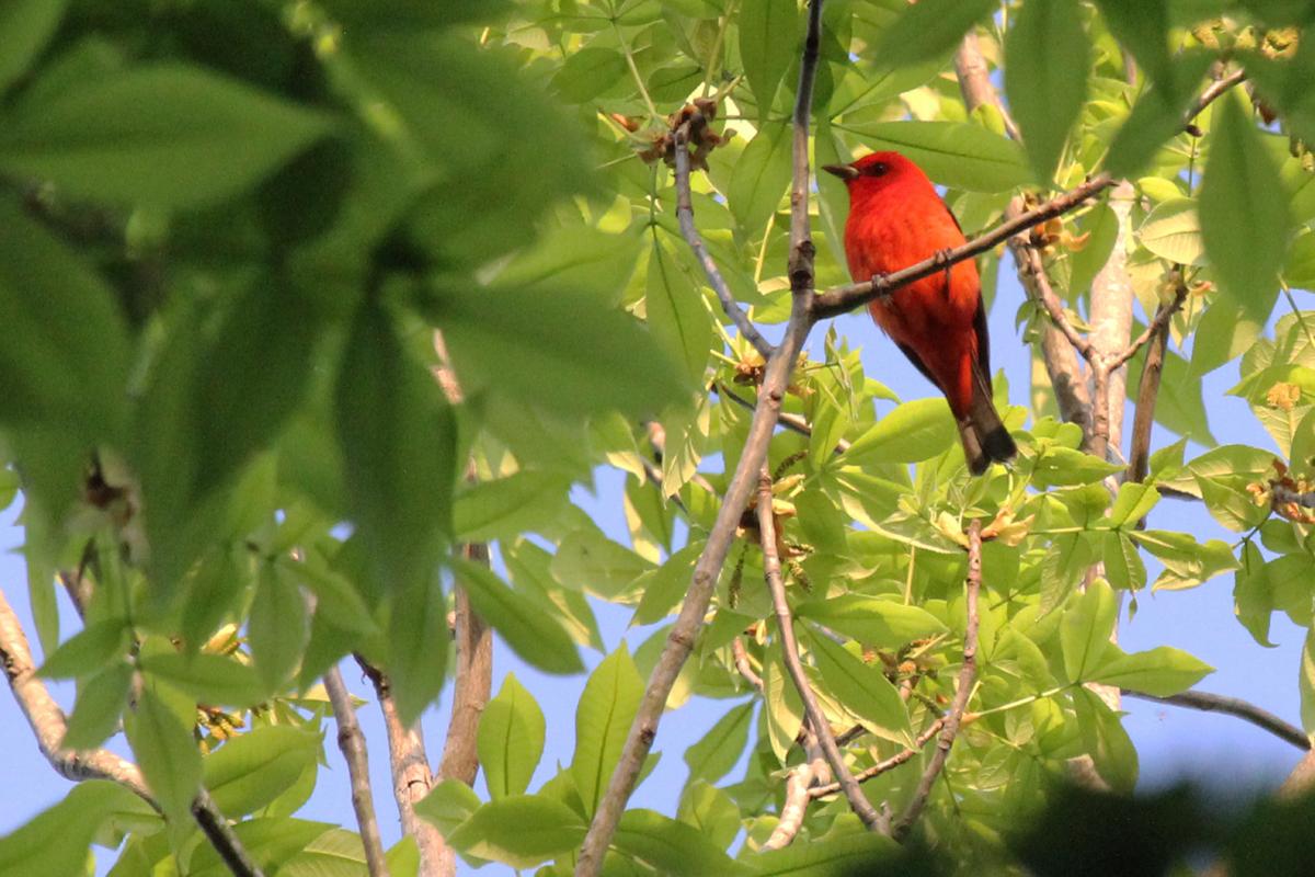 Scarlet Tanager / 3 May / Stumpy Lake NA
