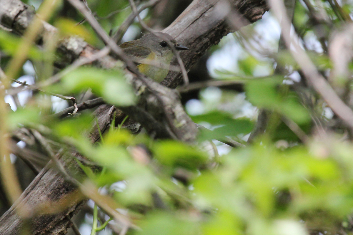 American Redstart / 5 May / Back Bay NWR