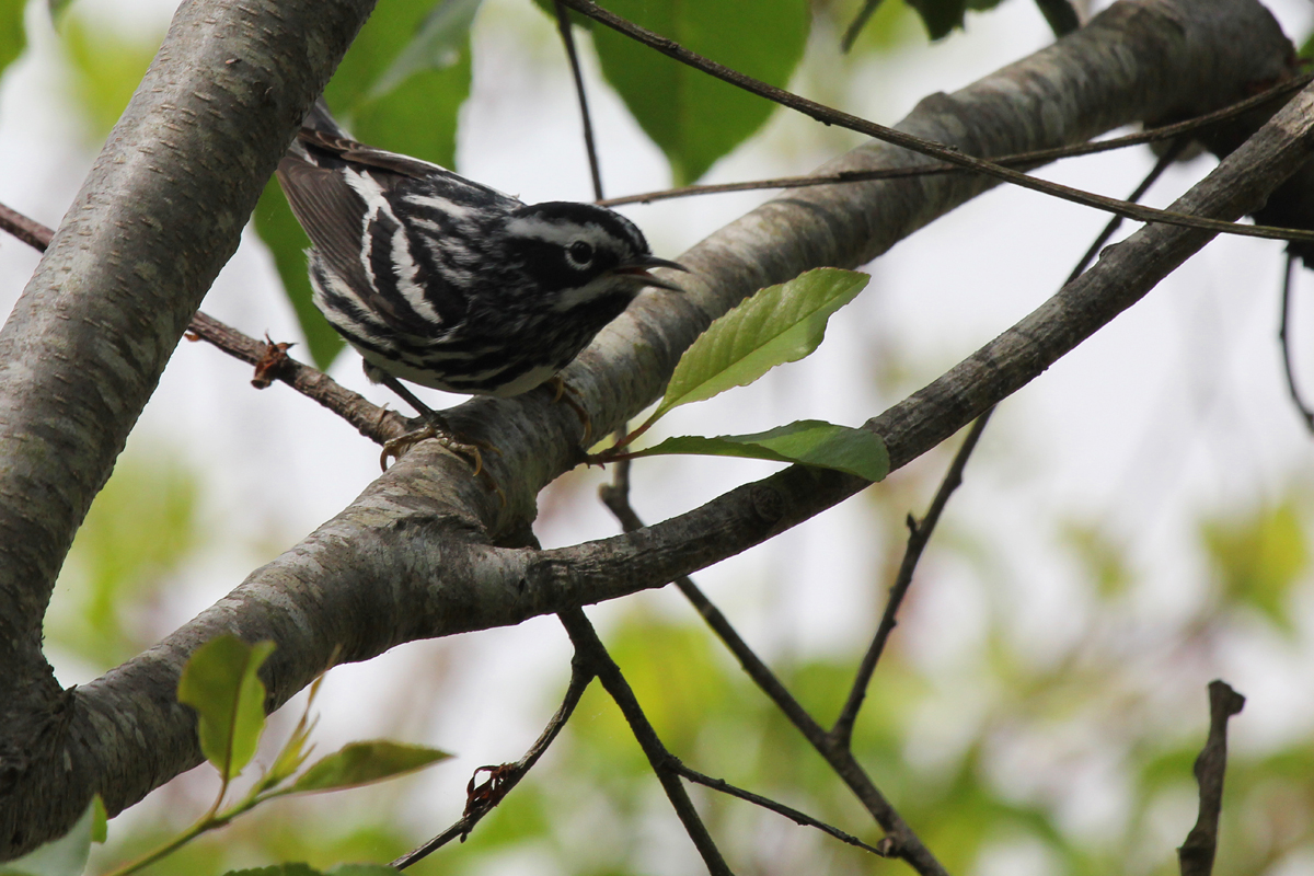 Black-and-white Warbler / 5 May / Back Bay NWR