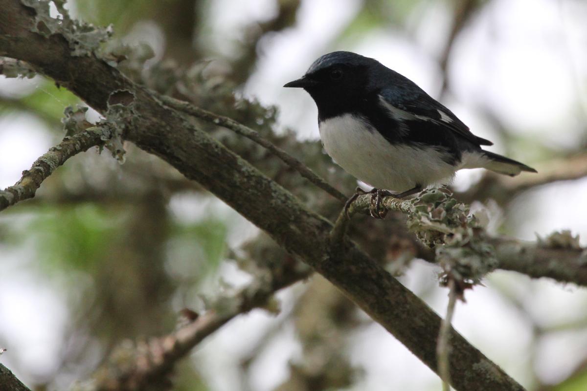 Black-throated Blue Warbler / 5 May / Back Bay NWR