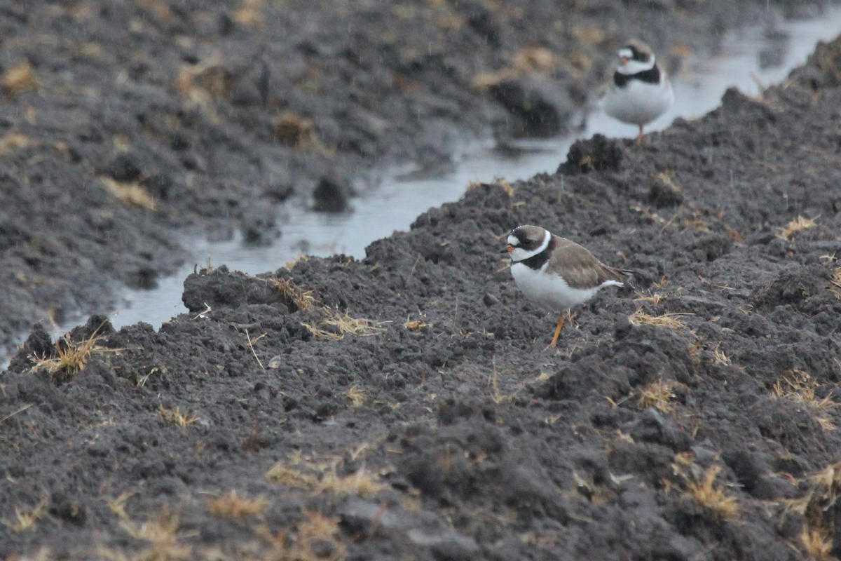 Semipalmated Plovers / 6 May / Muddy Creek Rd.
