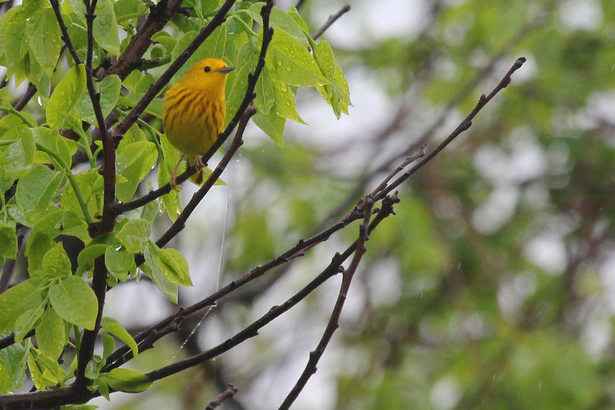 Yellow Warbler / 6 May / Back Bay NWR