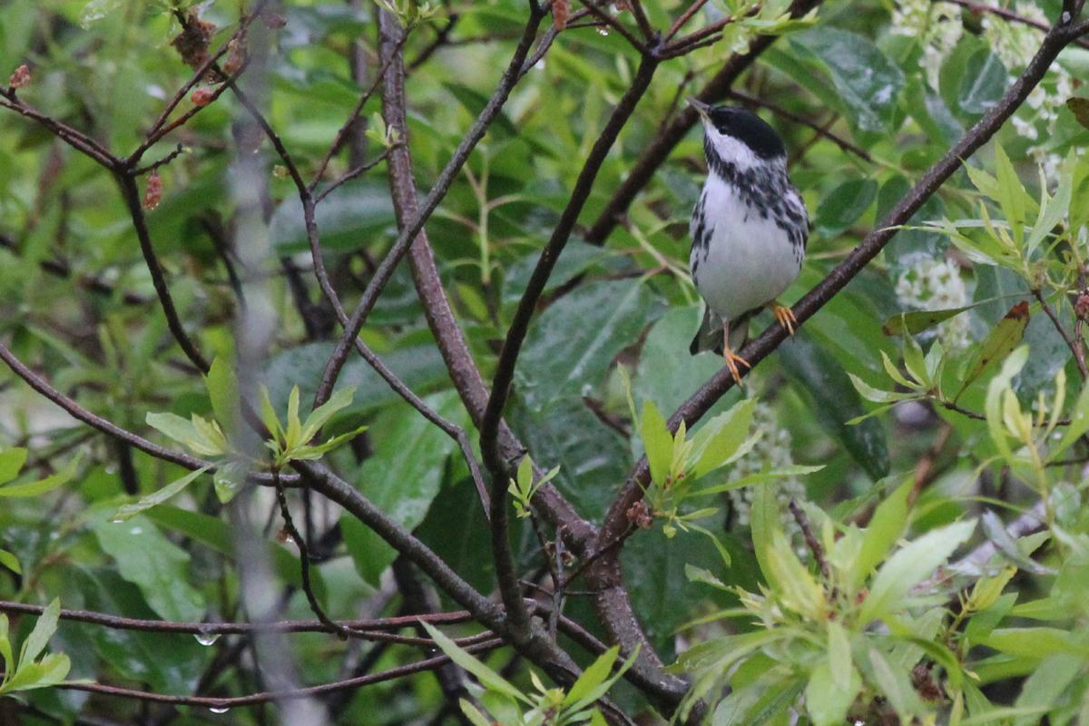 Blackpoll Warbler / 6 May / Back Bay NWR