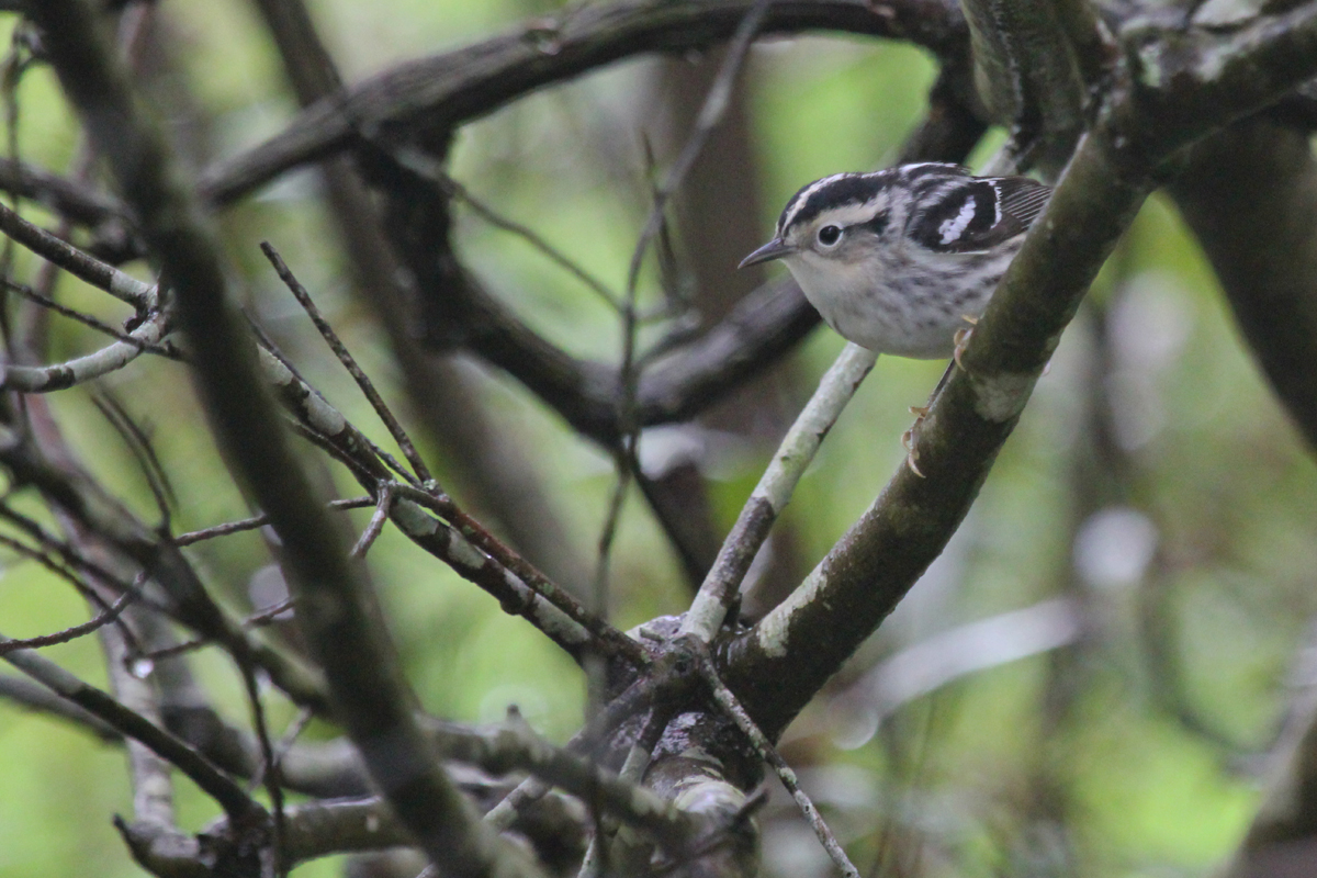 Black-and-white Warbler / 6 May / Back Bay NWR