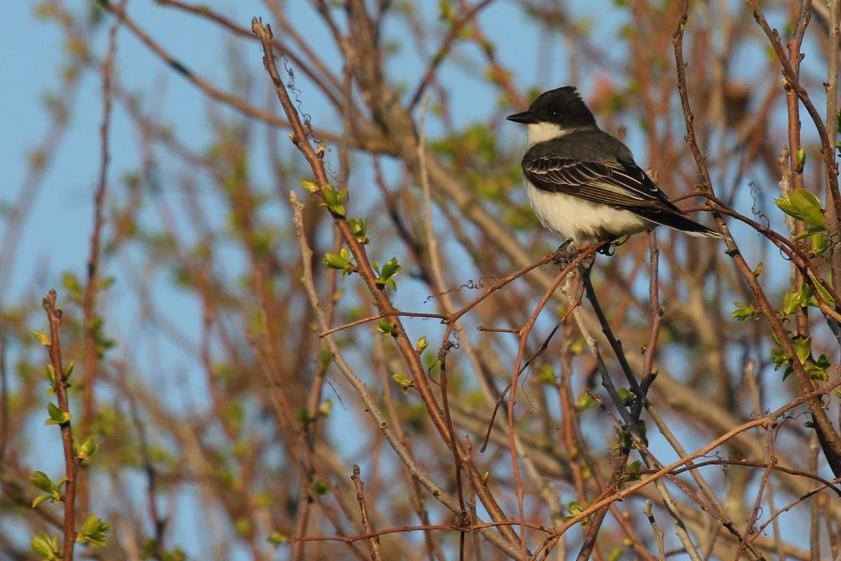 Eastern Kingbird / 2 May / Back Bay NWR
