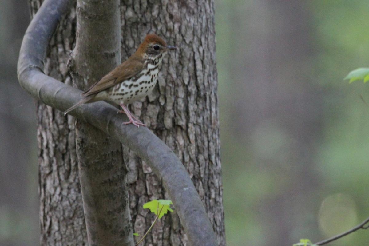 Wood Thrush / 3 May / Stumpy Lake NA