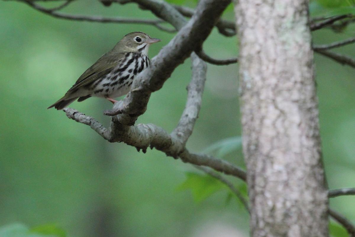 Ovenbird / 4 May / Stumpy Lake NA