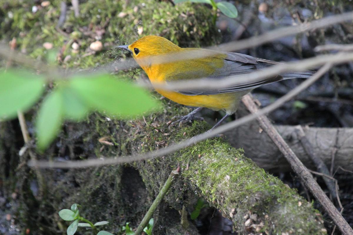 Prothonotary Warbler / 4 May / Stumpy Lake NA