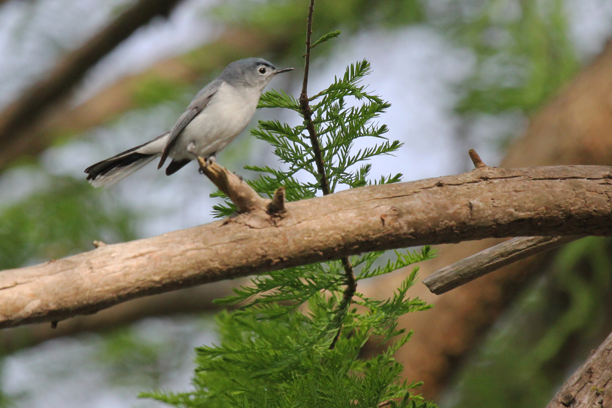 Blue-gray Gnatcatcher / 4 May / Stumpy Lake NA