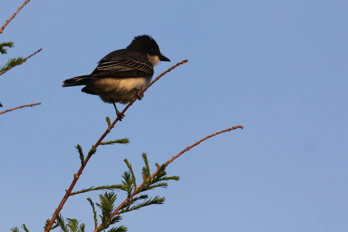 Eastern Kingbird / 5 May / Back Bay NWR
