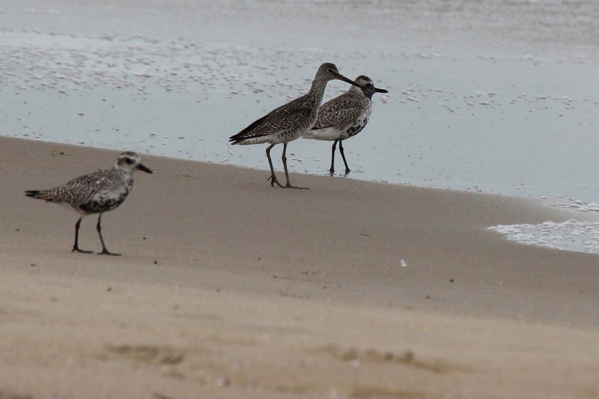 Black-bellied Plovers & Willet / 5 May / Back Bay NWR