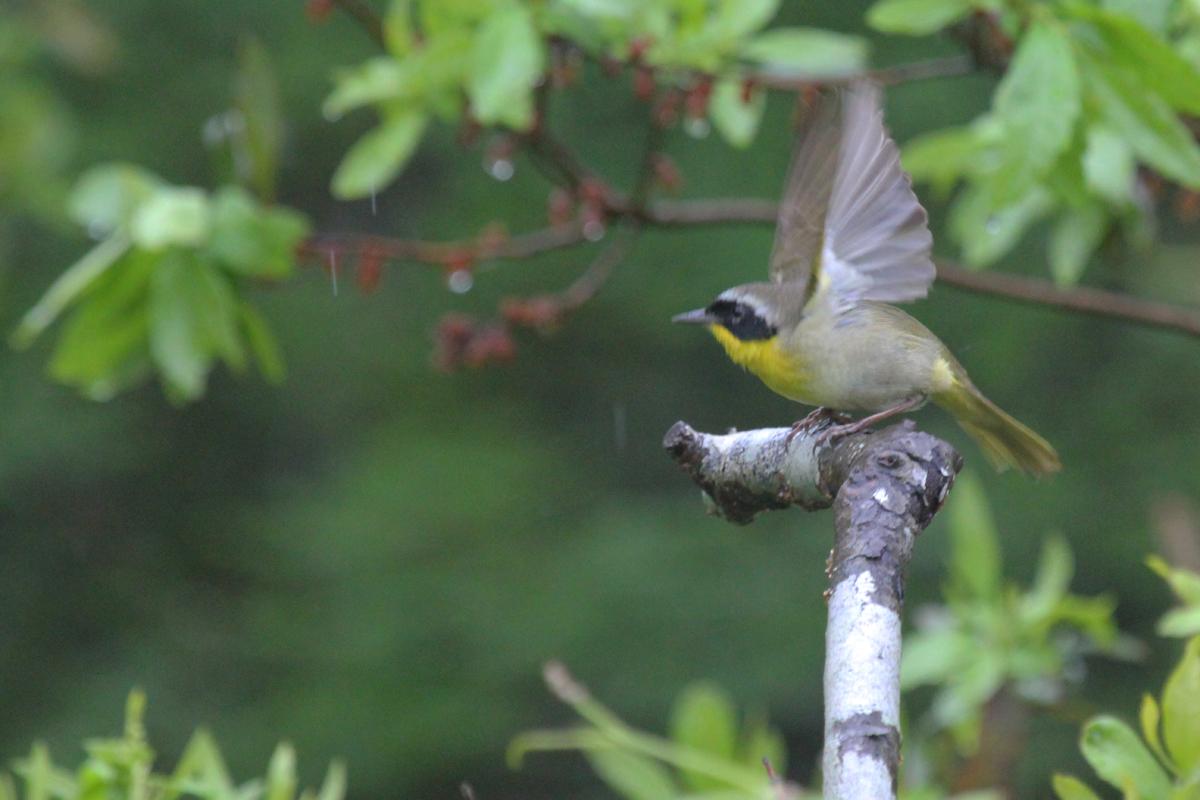Common Yellowthroat / 6 May / Back Bay NWR