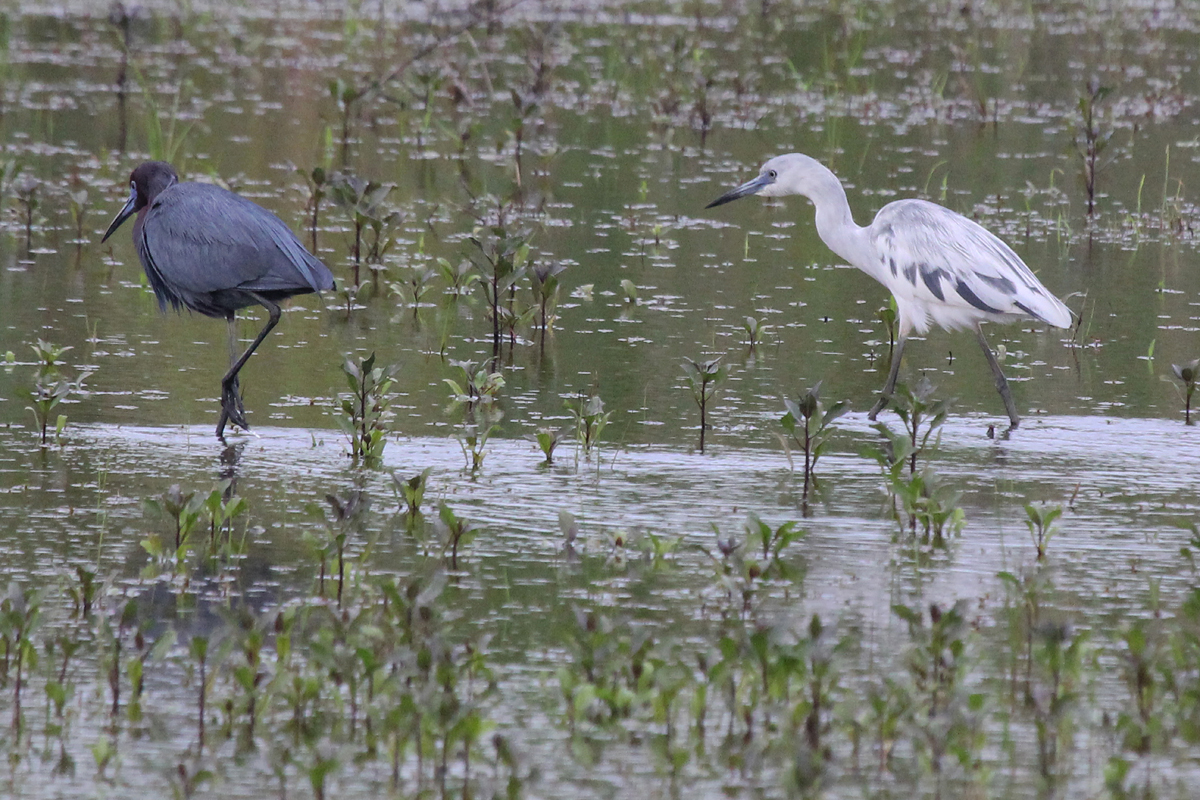 Little Blue Herons / 7 May / Princess Anne WMA Whitehurst Tract