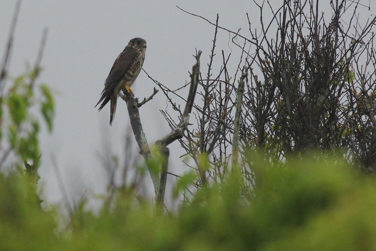 Merlin / 6 May / Back Bay NWR