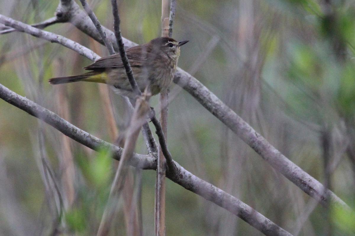 Palm Warbler (Western) / 8 May / Back Bay NWR