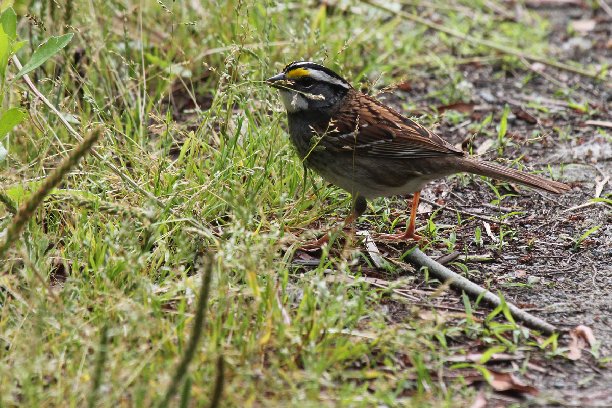 White-throated Sparrow / 9 May / Back Bay NWR