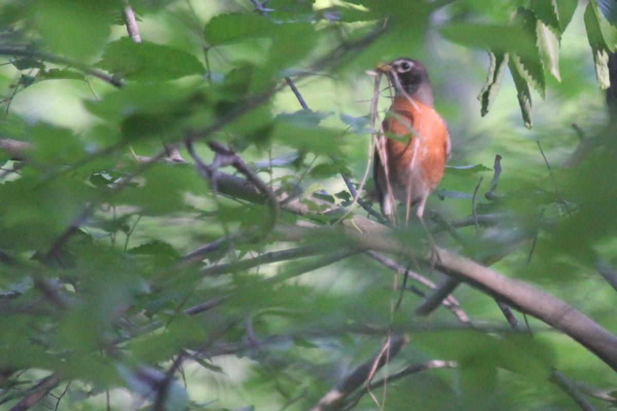 American Robin / 3 May / Stumpy Lake NA